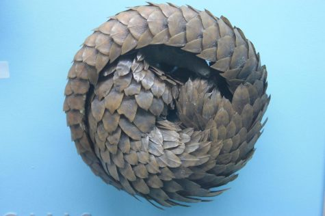 Pangolins are scaled mammals commonly found in Asia.