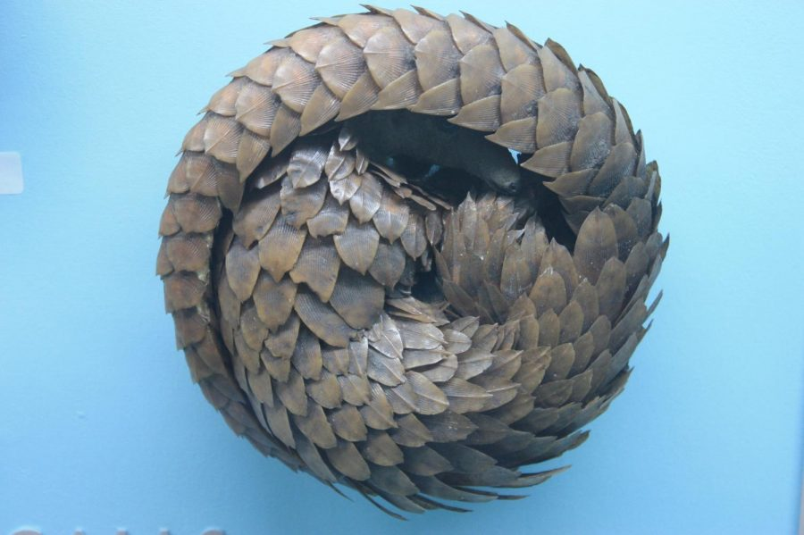 Pangolins+are+scaled+mammals+commonly+found+in+Asia.